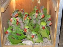 Parakeets Parrots And Hatching Eggs For Sale Products
