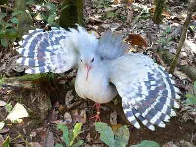 Kagu birds and eggs for sale