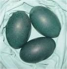 Emu fertile hatching eggs