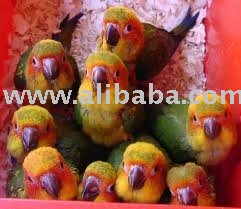 Sun Conures Birds and Fertile Eggs for sale