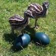 Emu bird and his fertile eggs
