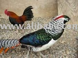 Live Pheasants