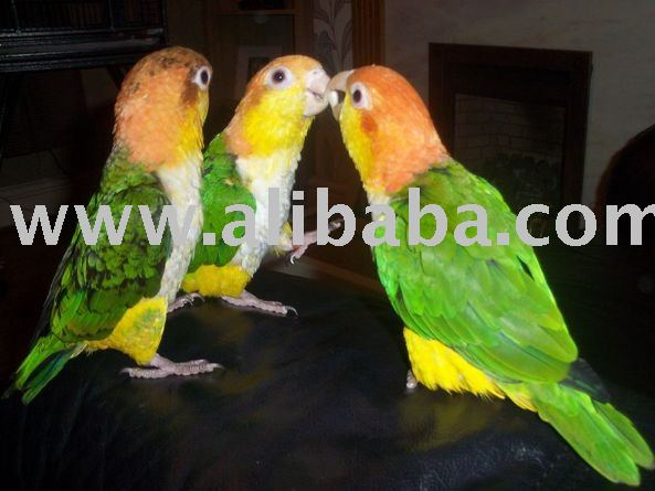 Bird Farm Co Ltd - African Grey Parrots,Finches,Canaries