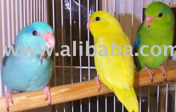 Conures and fertile Hatching Eggs
