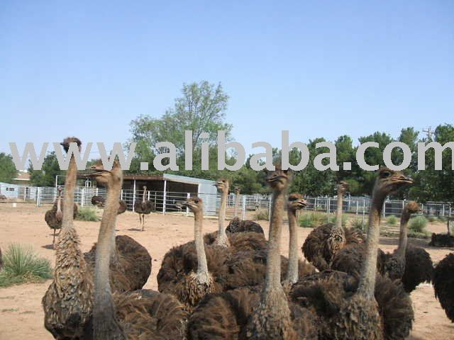 Ostriches ,Ostrich  chichs and eggs for sale