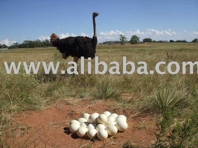 Ostrich  and  fertile   eggs