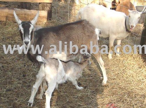 American Lamancha goat
