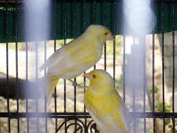 canary  birds and eggs