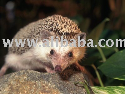 Well tamed African Hedgehog for sale