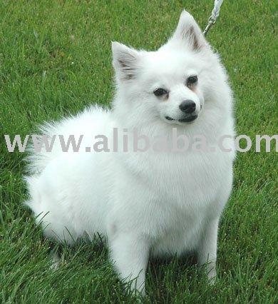Eskimo Dog Products Cameroon Eskimo Dog Supplier