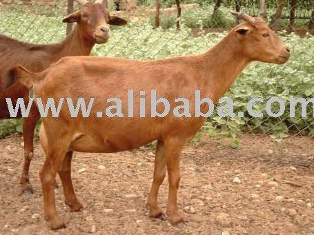 Niger's maradi goat
