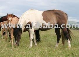 Tuxies Poco Pine Lady horse