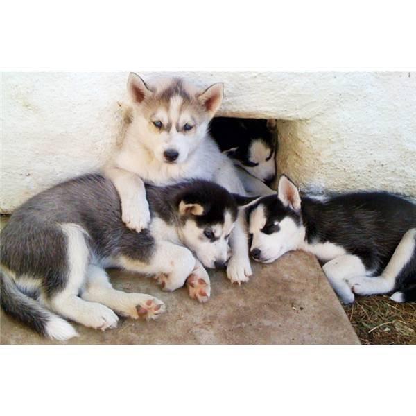 huskies puppies for sale Yorkie Husky Puppies
