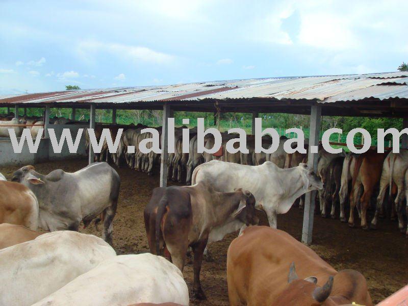 Thailand Cattle