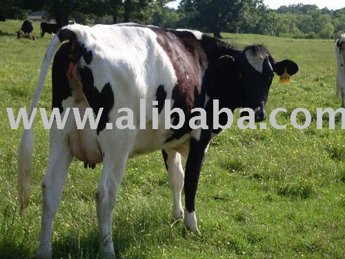 Dairy Cattle Calf Dairy Heifers For Sale Cattle