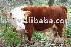 Miniature Hereford Heifers