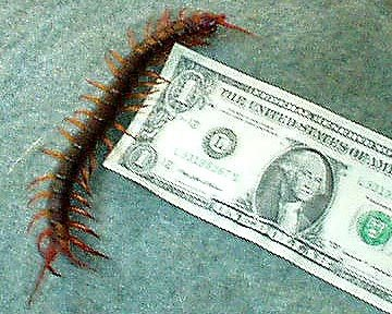 Giant Desert Centipede for sale products,Cameroon Giant