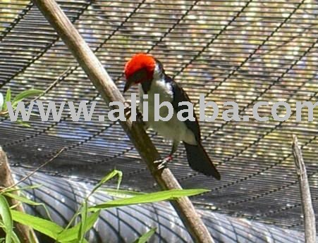 Red Cape Cardinal birds for sale products,Cameroon Red Cape