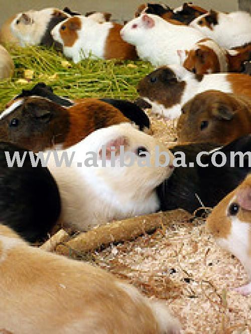Quality Hand Raised Critters and Guinea Pigs for sale.