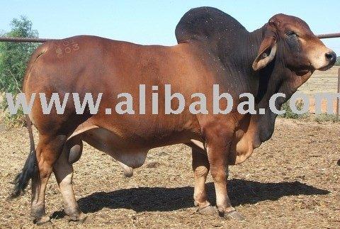 Brahman Semen Livestock