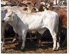 Brahman cattle,Livestock