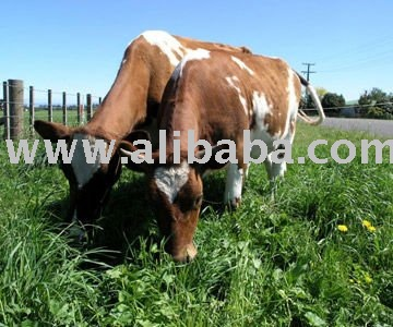 Cattle for Sale and Ayrshire Cattle for sale