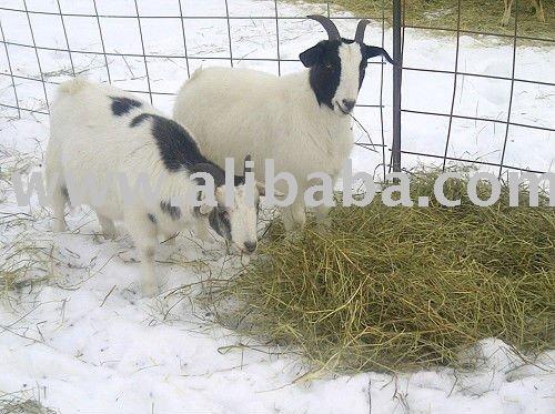 Fainting Goats (Goats)