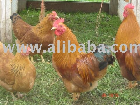 Hampshire Red Bantams ,Hens and Chickens for sale