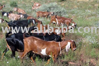 Lamancha  Dairy Goat