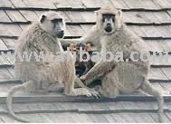 YELLOW BABOONS BABIES FOR SALE