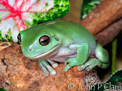 Frog Sale Malaysia White's Tree Frog For Sale