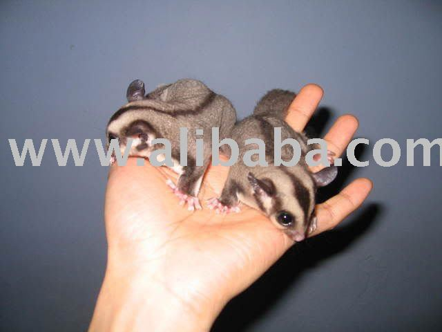 sugar gliders products cameroon sugar gliders supplier