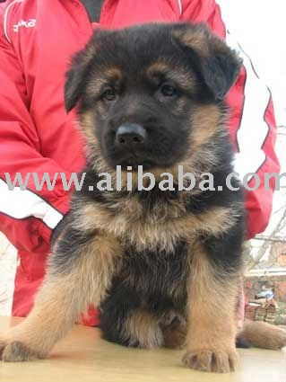 German Shepherd Dog and Puppies For Sale products,Cameroon