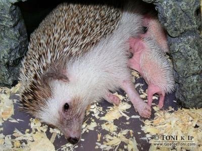 Miniature Hedgehogs For Sale