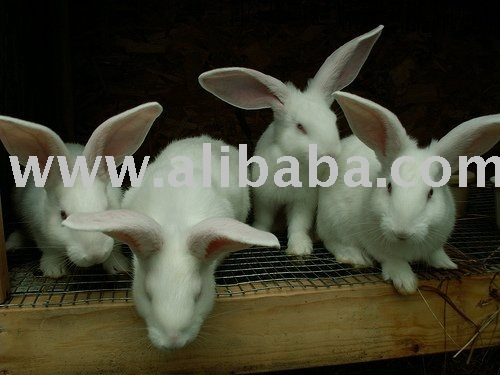 Flemish Giant Rabbits for sale.