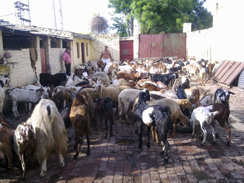 LIVE CATTLE FOR QURBANI