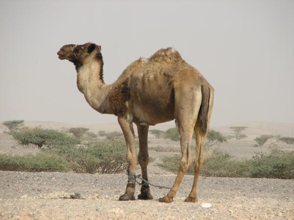 Camel Livestock