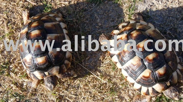 Marginated Tortoise Care Marginated Tortoises