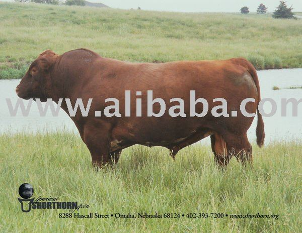 Cattle place of orign cameroon milking shorthorn cattle for sale 1000
