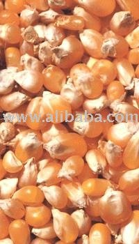 maize corn products in india