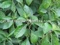 Pecah Beling (Strobilanthes crispus) Herb