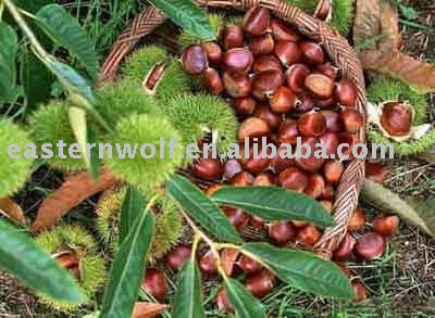 Big fresh chestnut in 25kg gunny bag package