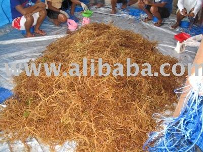 Eucheuma Cottonii   Seaweeds