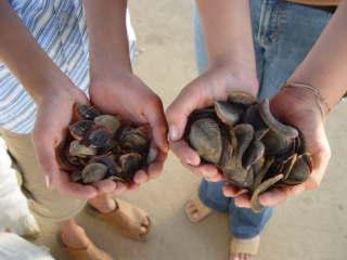 Dry Sea Operculum