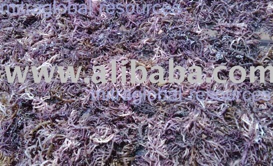 Dried Eucheuma Cottonii seaweed
