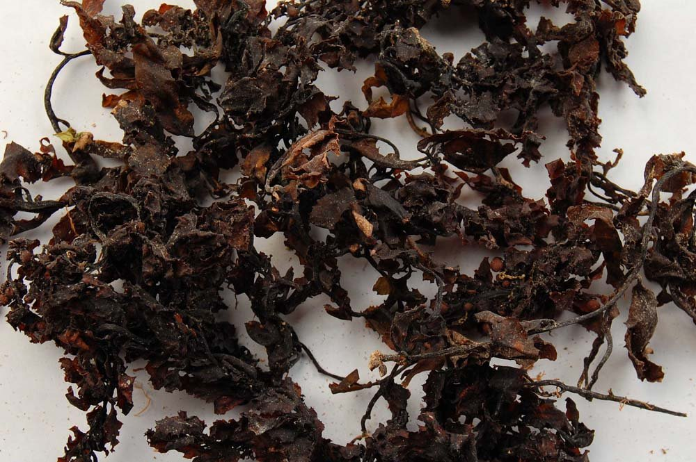 sargassum seaweed from indonesia