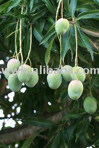 Fresh African Mangoes and Bush Mango for sale