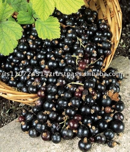 Black Currant Juice Concentrate