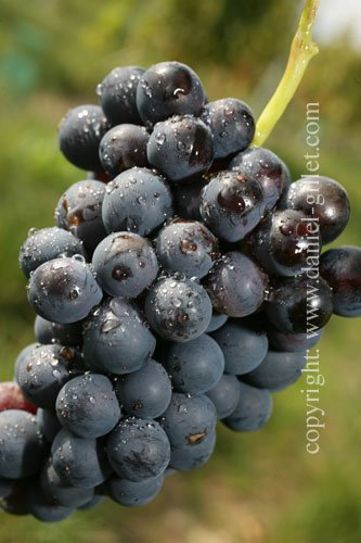 how to make grape juice concentrate