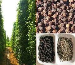 SELL BLACK PEPPER VIETNAM -FAQ